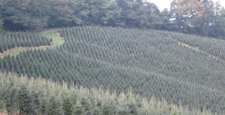 Nc Christmas Tree Farm.Cheek Brothers Tree Farms West Jefferson Nc 28694
